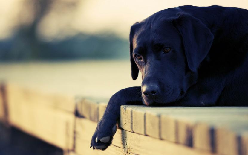 Perro negro labrador 1